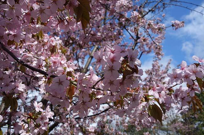 旭川もようやく桜の見頃が終わりました♪散髪と病院通いでモス朝・旭川らーめん食いつつぶら歩き