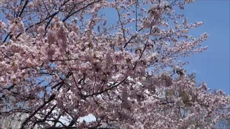 【Japanese cherry blossoms】ようやく北海道も桜が満開の季節がやって来てそして過ぎ去っていきました(旭川常盤公園)Introducing the spring landscape of Japan